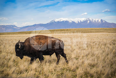 American Bison in the field of Antelope Island State Park, Utah