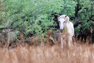 White Wild Horse in Field Looking at Camera
