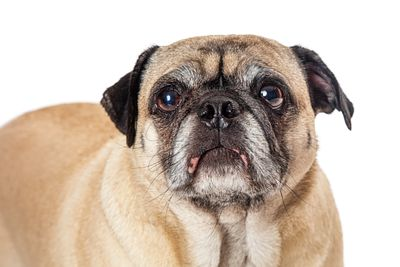 Frowning pug dog isolated