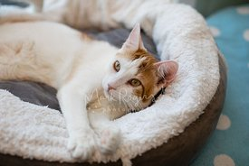 White cat with orange markings stretched out on cat bed