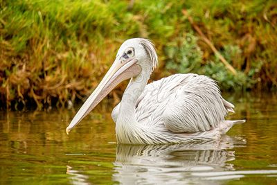Pelican Swimming in Pond