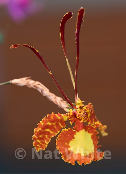 Psychopsis-December_31_2020_NAT_WHITE