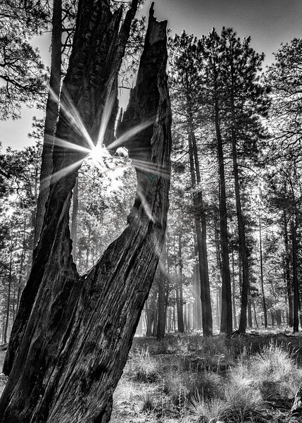 Sunbeam Through Old Tree in Forest - Monochrome