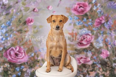 cute brown dog sitting on chair infront of a floral backdrop