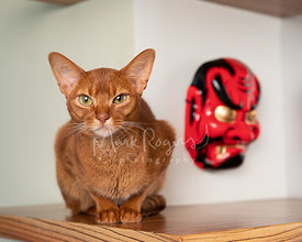 Abyssinian Cat Sitting next to Samurai Mask