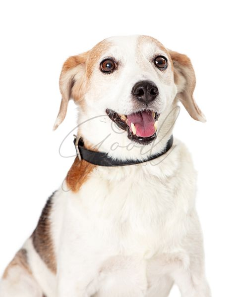 Smiling Happy Beagle Crossbreed Dog Closeup