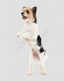 Playful Yorkshire Terrier and ShihTzu Crossbreed