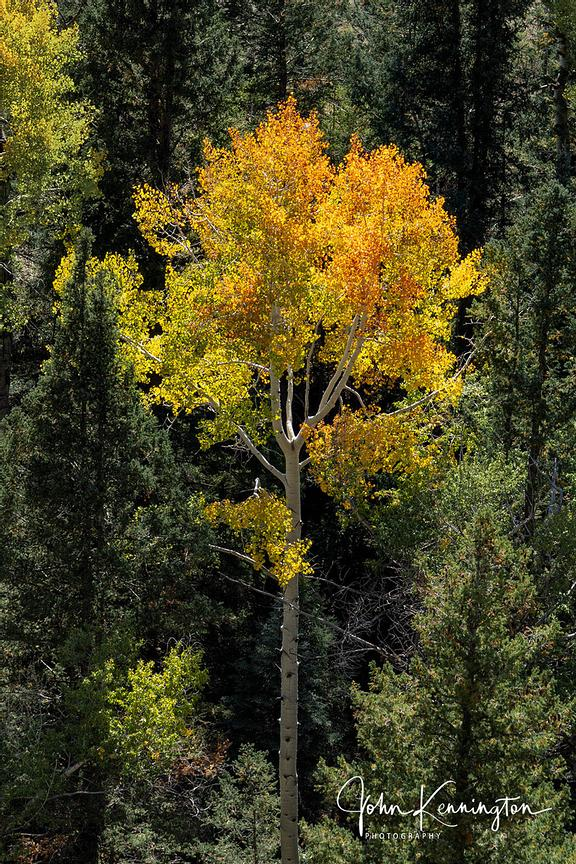 Aspen in Pines, Uncompahgre National Forest, Colorado