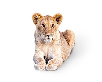 Young African Lion Cub Isolated on White