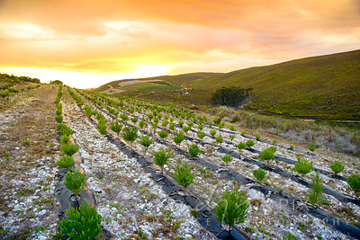 Fynbos Flower Farm Sunrise