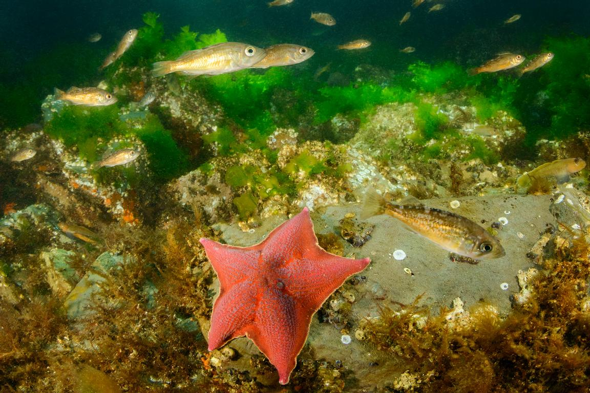 Bat Star, Patiria miniata, with juvenile Widow Rockfish in Tahsis Inlet.