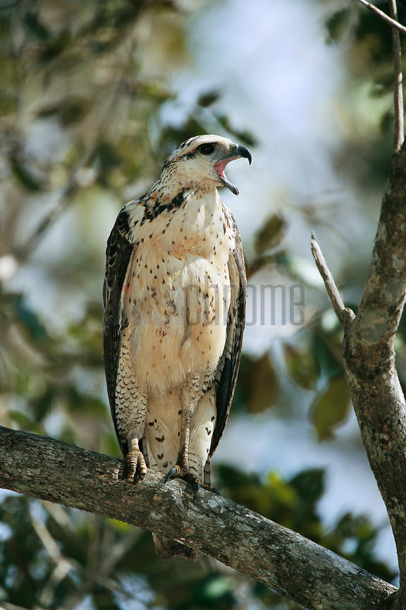 Great Black Hawk (Buteogallus urubitinga)