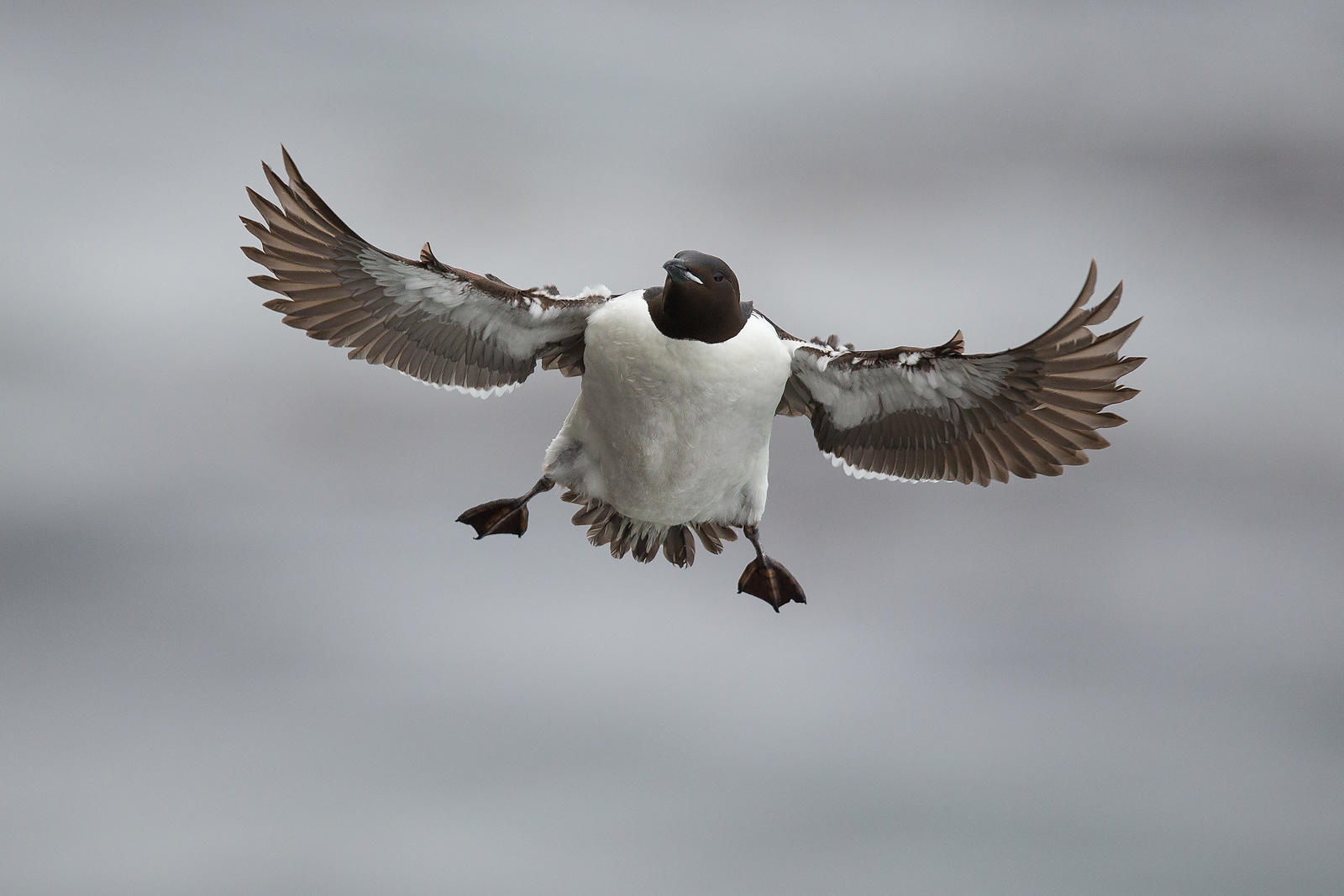 Common Murre in Flight