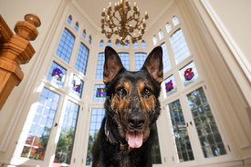 Close-up of German Shepherd with Stained Glass Windows in Background