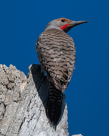Northern Flicker on the Lookout