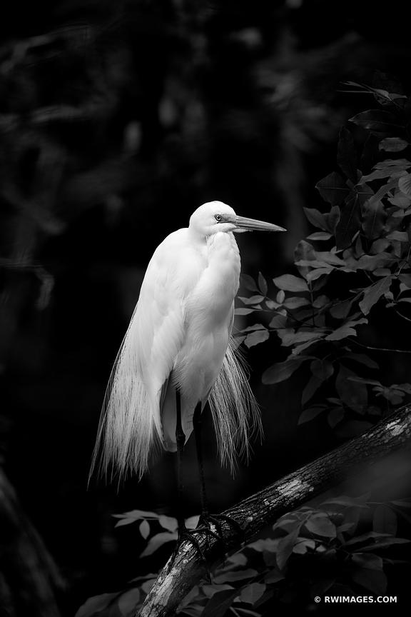 WHITE EGRET BIG CYPRESS NATIONAL PRESERVE EVERGLADES FLORIDA VERTICAL