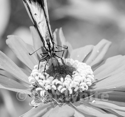 swallowtail_face_on_B_W_Date_(Month_DD_YYYY)1_1250_sec_at_f_7.1_NAT_WHITE