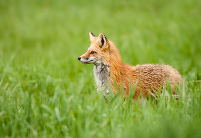 Red Fox in Tall Grass