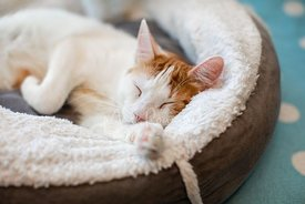White cat with orange markings sleeping on cat bed