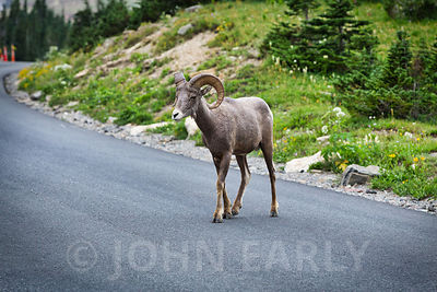 Bighorn Sheep at Logan Pass #3