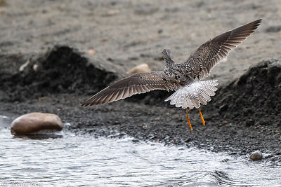Greater Yellowlegs Coming in for a Landing