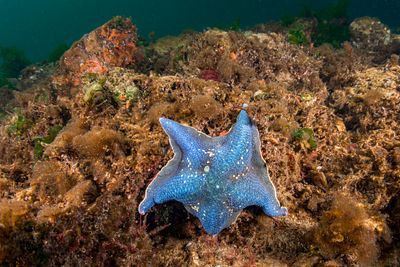 Blue Bat Star, Patiria miniata, in Tahsis Inlet. British Columbia.