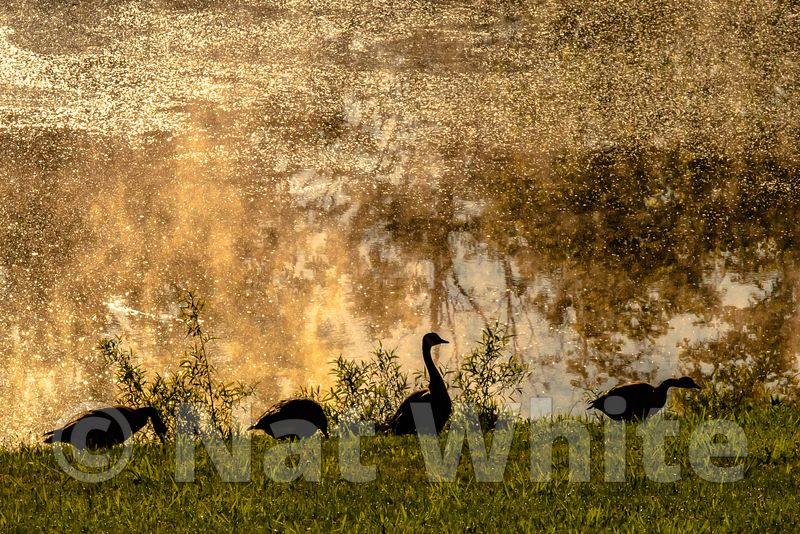 Misting_morning_with_geese_Date_(Month_DD_YYYY)1_1600_sec_at_f_29_NAT_WHITE