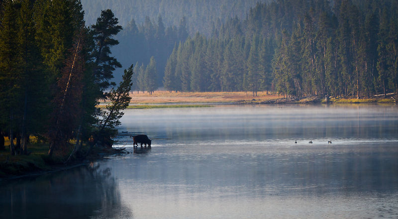 Bison on the Yellowstone