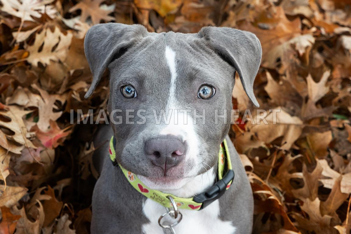 Blue pitbull puppy looking up at camera