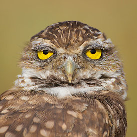 Burrowing Owl Headshot