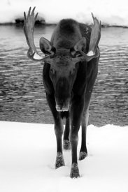 Moose_in_Winter_-_Black_and_White