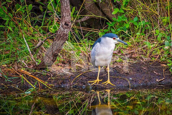 A Black-crowned Night Heron in Everglades National Park, Florida
