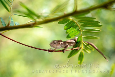 Small chameleon in a tree