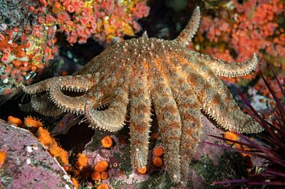 Sunflower star, Pycnopodia helianthoides, in Discovery Passage.
