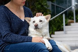 :arge White Mixed Breed Dog Relaxes in Womans Lap While She pets It