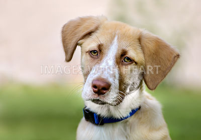 Tired Tan and White Puppy with Soft Background Outdoors