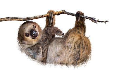 Two-Toed Sloth Hanging From Branch Isolated