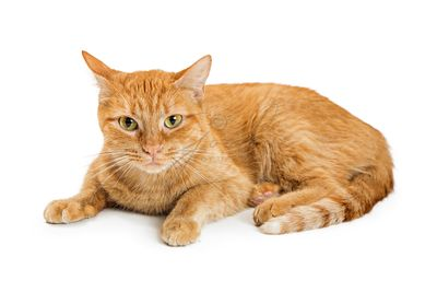 Orange Tabby Cat Lying on White Looking Forward