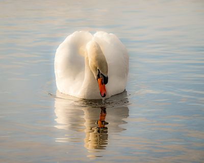 Mute Swan, Cygnus olor, in the Campbell River Estuary.
