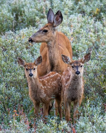 LMW10: Doe with Two Young Fawns