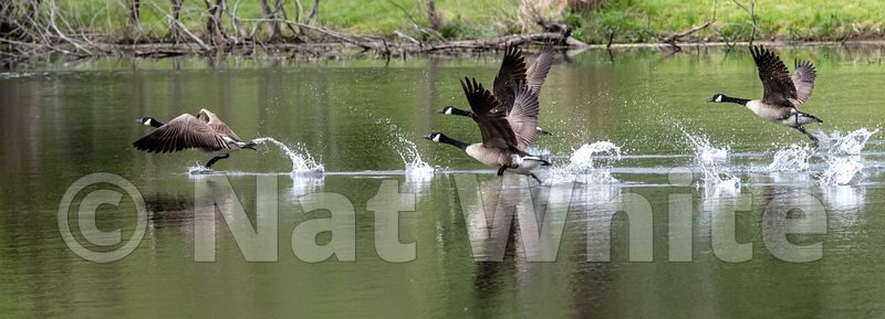 Goose_takeoff_May_04_2021_NAW1675NAT_WHITE