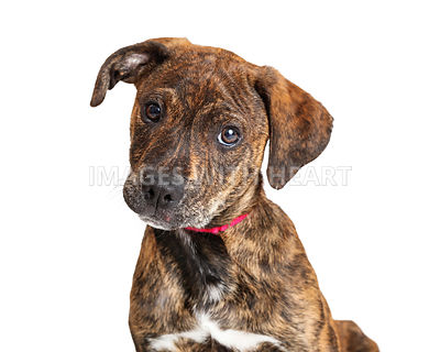 Portrait Cute Brindle Terrier Puppy Dog