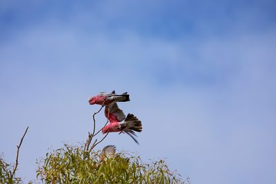 Galah on a branch high up in a tree with another Galah flying past