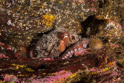 Giant Pacific Octopus, Enteroctopus dofleini, in a rock crevice