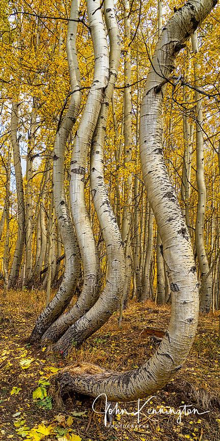 Dancing Aspens No. 9 (Vertical Panoramic), Uncompahgre National Forest, Colorado