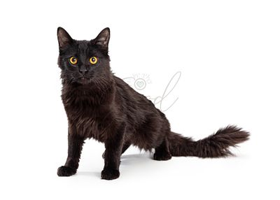Black Medium Hair Cat Sitting
