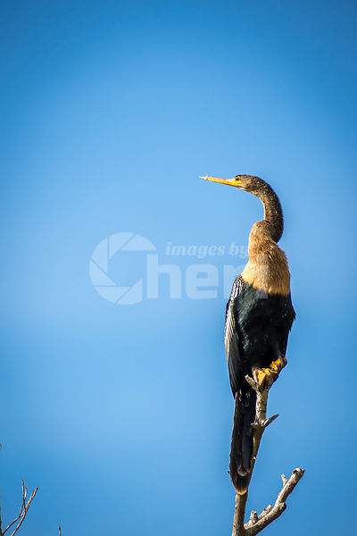 A Female Anhinga in Everglades National Park, Florida