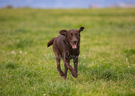 Chocolate Labrador Retriever Running in Grassy Field with Ears Flapping