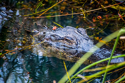 A large American Alligator in Everglades National Park, Florida