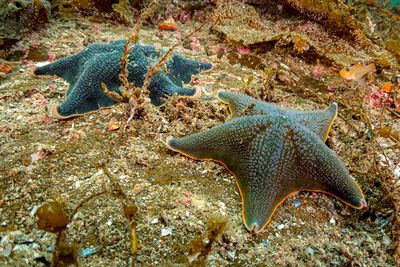Dark Blue Bat stars, Patiria miniata